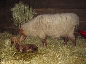 bertha lambs