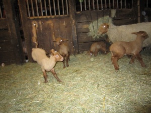tunis lambs