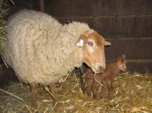 Coco lamb
