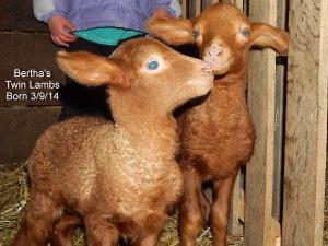 Bertha's Lamb