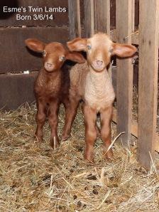 Esme's Lambs