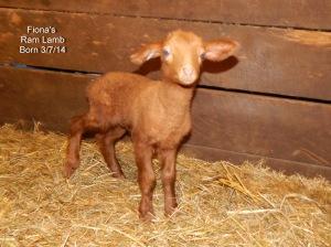 Fiona's Lamb